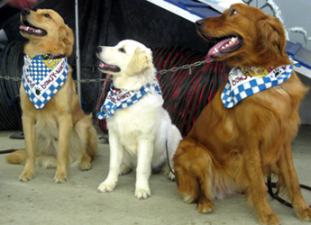 Golden Retriever Boarding School Alumni