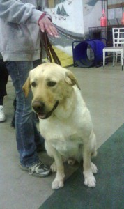 Clyde, an enthusiastic Lab, during a private lesson