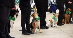 Dogs attend to handlers