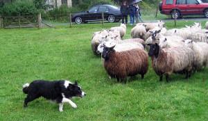 Moss herding sheep