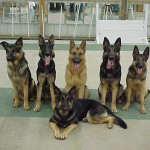 King's Pride's German Shepherd Dogs