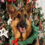 Scotia -- a King's Pride German Shepherd Dog