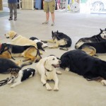 Dogs on a down/stay as part of therapy practice