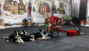 Seven Border Collie puppies practice for our December 2015 holiday show. Story line -- the wagon is Santa's and the puppies have tumbled out of the rear as gifts to us from Sheena Kerr, their breeder.
